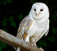 Barn owl by highhopes2