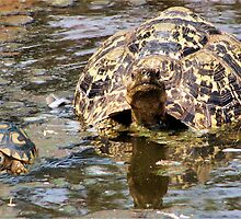 JUVENILE AND MOTHER - MOUNTAIN - LEOPARD TORTOISE – Geochelone pardalis by Magaret Meintjes