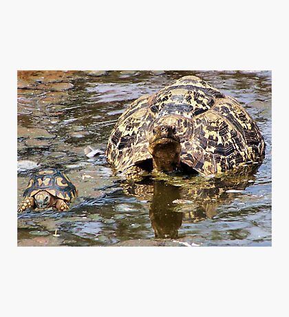 JUVENILE AND MOTHER - MOUNTAIN - LEOPARD TORTOISE – Geochelone pardalis Photographic Print