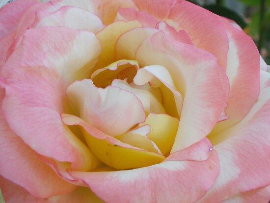 Dan's Rose by johntbell