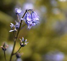 Bluebell by lorrainem