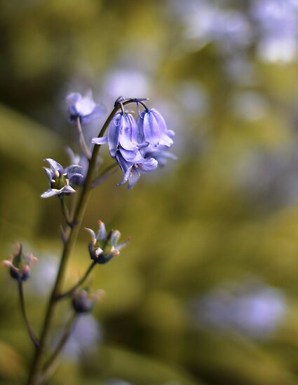 Bluebell by lorrainem