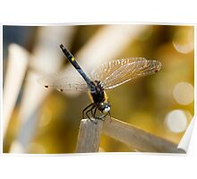 Dot Tailed White Faced Male Dragonfly Poster