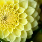 Yellow Dahlia by Dana Horne