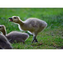 baby goose  Photographic Print
