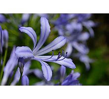African Lily- Agapanthus Photographic Print