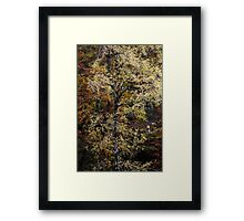 Weeping birch  Framed Print