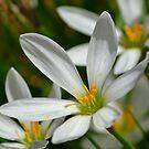 White Rain Lilies by TheaShutterbug