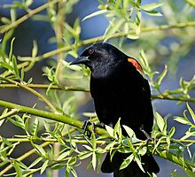 Redwing Blackbird on Bush by Gerda Grice