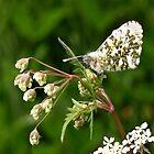 Female Orange-tip Butterfly by redown