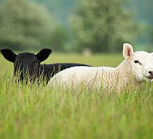 Lambs by cameraimagery