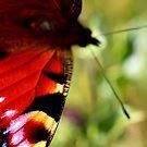 Butterfly II by timkirman