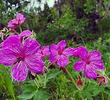 Sticky Purple Geranium - Geranium viscosissimum by Digitalbcon