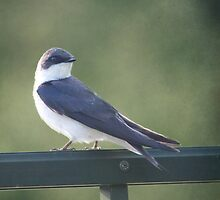Female Tree Swallow ~ by Renee Blake