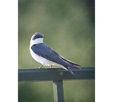 Female Tree Swallow ~ Photographic Print