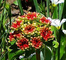 Sulphur Buckwheat - Eriogonum umbellatum by Digitalbcon