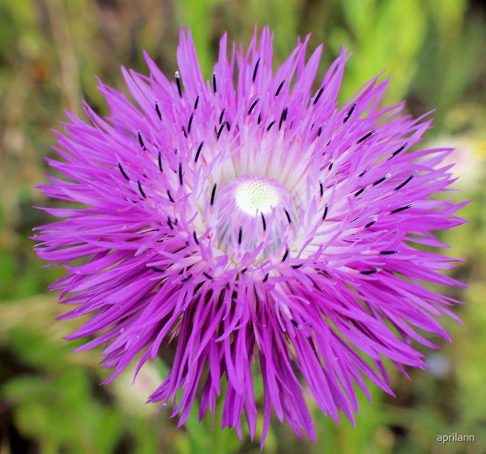 Texas Wildflower - Thistle by aprilann