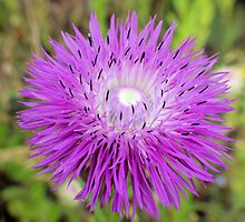 Texas Wildflower - Thistle by aprilann