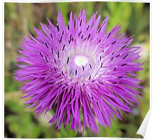 Texas Wildflower - Thistle Poster