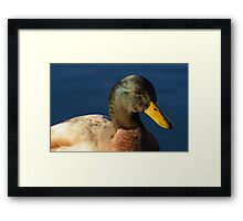 Mallard - Saxony Mixed Breed wild duck drake  Framed Print