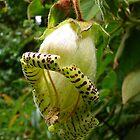 Capanea Grandiflora by Digitalbcon