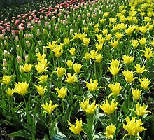 An Army of Tulips - Keukenhof Gardens by BlueMoonRose