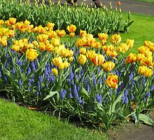 Bed of Tulips and Muscari - Keukenhof Gardens by BlueMoonRose