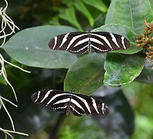 Two Zebra Butterflies by msqrd2