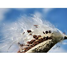 Milkweed Seeds Photographic Print