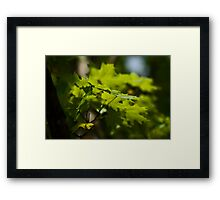 Iconic Canadian Maple Leaves Framed Print