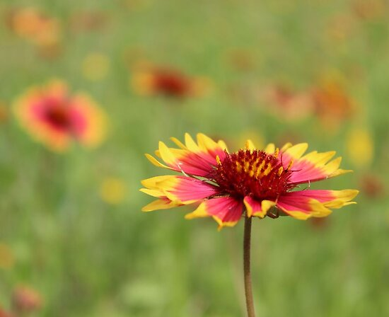 Oklahoma's State Wildflower - Indian Blanket by aprilann