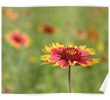 Oklahoma's State Wildflower - Indian Blanket Poster