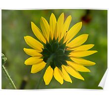 Sunflower Follows the Sun Poster