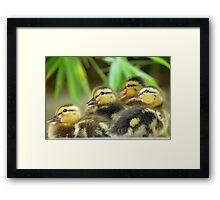 Duckling Quack-tette  Framed Print