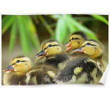 Duckling Quack-tette  Poster