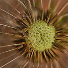Seed Head by Ray Clarke