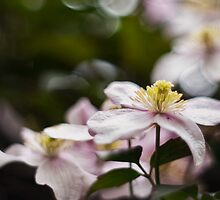 Pretty Pink Clematis flowers by Vicki Field