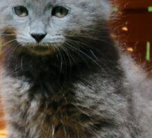 Grey Fluffy Kitten Sticker