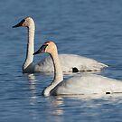 Trumpeter Swan Mates #4 by Ken McElroy