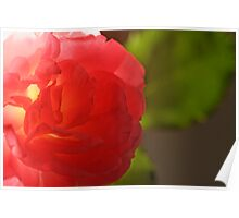 Pink ros Poster