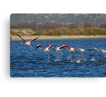 Flock of Greater Flamingoes taking off Canvas Print
