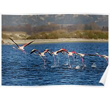 Flock of Greater Flamingoes taking off Poster