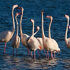 Flock of Greater Flamingoes  during mating season by Sami Sarkis