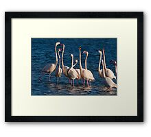 Flock of Greater Flamingoes  during mating season Framed Print