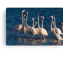 Flock of Greater Flamingoes  during mating season Canvas Print