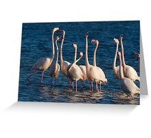 Flock of Greater Flamingoes  during mating season Greeting Card