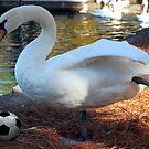 Swan Kick by JpPhotos