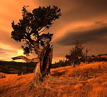Limber Pine Whaleback Ridge by Bob Christopher
