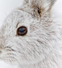 Showshoe Hare Sticker