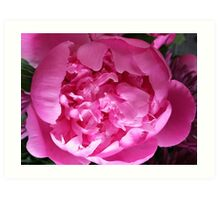 Peony progress Art Print